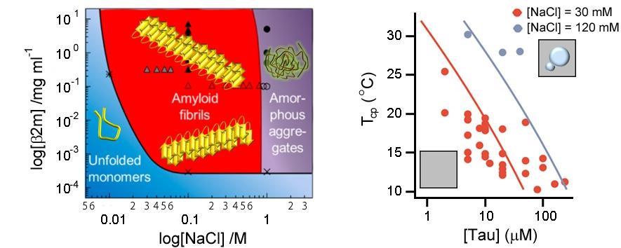 왼쪽 상다이어그램(phase diagram)은 이영호 박사가 고안한 그림으로 여러     환경조건에 따른 단백질의 상거동과 응집상태를 도해적으로 알기 쉽게     보여줌(PNAS, 2014). 오른쪽은 타우단백질의 액체상 상분리 현상을 설명하는     상다이어그램(Lin et al, eLife, 2019).