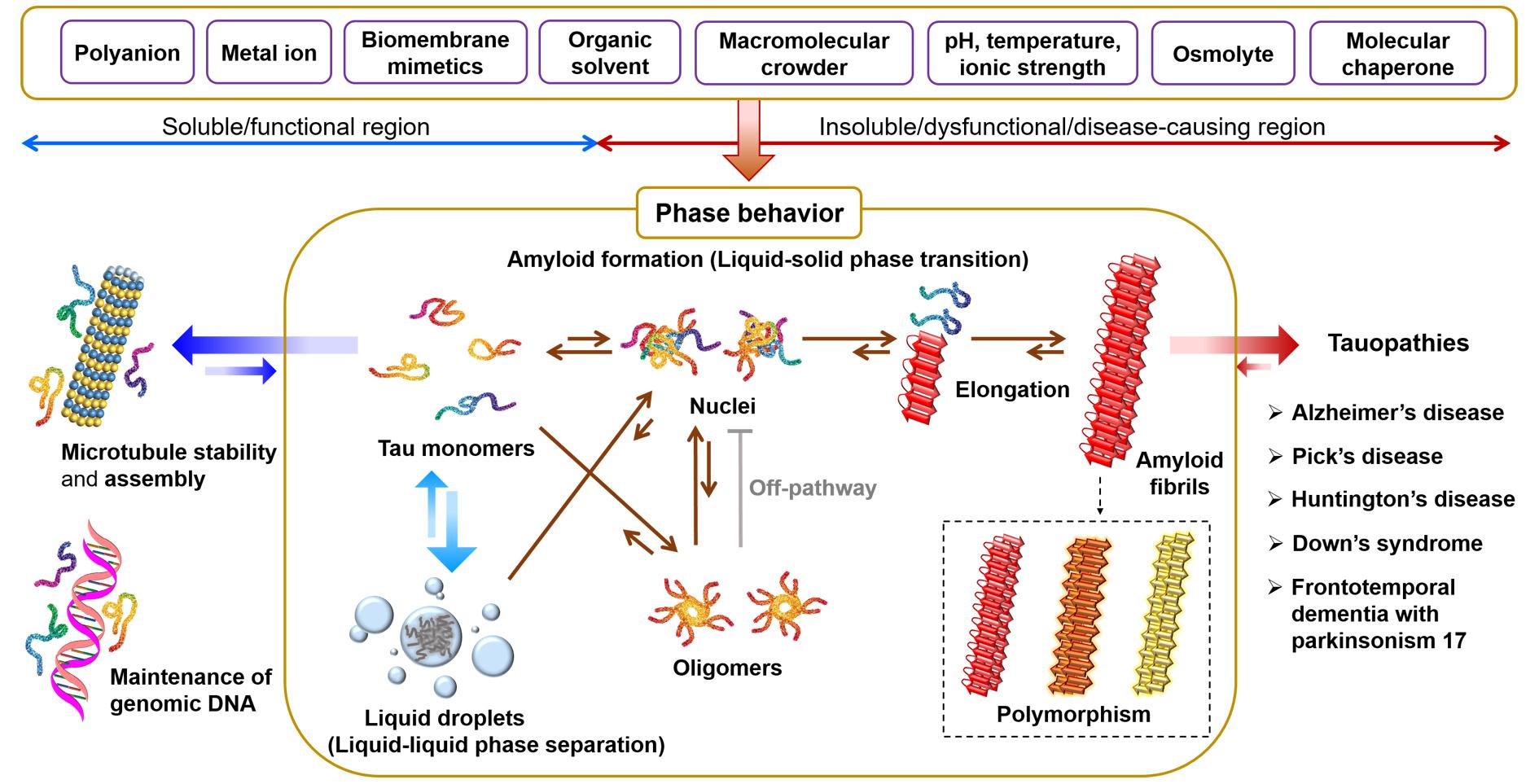 타우단백질은 다양한     생물리학·생물학적 환경요인에 민감하게 반응하여 기능 발휘를 위한 좋은     상거동(phase behavior)을 하거나, 타우병증(tauopathy)과 같이 여러 퇴행성     뇌질환(neurodegenerative disease)을 일으키는 잘못된 상거동을 하게 됨